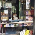海外「日本では柴犬が9時5時で働いている」【海外の反応】