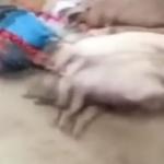 【動画】中国、アフリカ豚コレラで豚の死骸だらけ!地元政府は情報封鎖し必死に隠蔽 [海外]