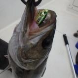 『東京シーバス【リハビリ釣行】』の画像
