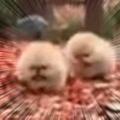 2つ毛玉が走ってくる。落ち葉の上をカサカササァ~♪ → 2匹の子犬の破壊力はこんな感じ…