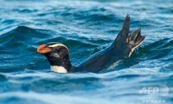 ペンギンの驚異的な遠泳67日間で6801キロ、追跡調査に初めて成功 NZ