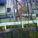 『垂れ桜』の画像