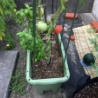 楽しい野菜生活 脱落するものたち