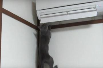 ロシアンブルーが元気にジャンピングする動画ww