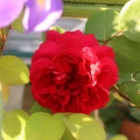 『少ないけどバラの開花宣言~害虫に狙われる庭~』の画像