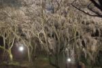 今年も開催!植物園で『枝垂桜のライトアップ』!~3/25から3/31~