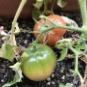ベランダで育ったトマトを食べてみた