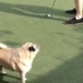【イヌ】 飼い主がパターの練習をしていた。すると犬が邪魔をする! → と思ったら…