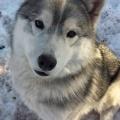 【画像】冬のハスキー祭り【犬】