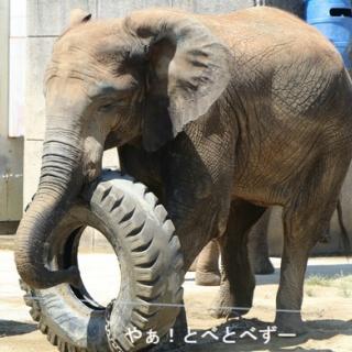 やぁ!とべとべずー与茂駄(よもだ)くあとろ ~とべ動物園で暮らすアフリカゾウのブログ~