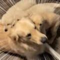 パパ犬が床でくつろごうとする。わ~いパパぁ! → 子犬たちはこうなっちゃう…