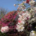 『花残月 4 源平枝垂れ桃』の画像