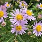 『紫苑』の画像