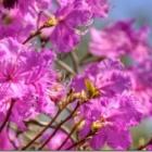 『ゲンカイツツジが咲き始めました』の画像