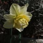 『【ピノ子日記】暖かい日差しが降り注ぐ庭の花たちと20日大根とワケギの収穫』の画像