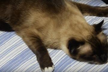 くせがすごい…!本当に寝てるか疑いたくなるシャム猫