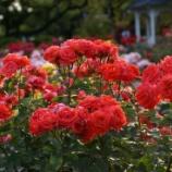 『マクロで荒ぶる2012の薔薇 〜横浜 港が見える丘公園にて』の画像