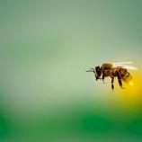 『ミツバチの毒が 乳がんの治療に効果 by カラパイア』の画像