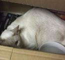小包にうっかり入って発送されたネコ、8日も箱の中で耐えて救出される