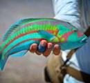 【画像】まるで絵の具で塗られたようなカラフルな魚が発見される!