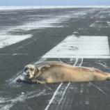 『4-7-8呼吸法:空港の滑走路でも寝るアザラシ』の画像