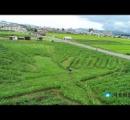 里芋畑に「ナスカの地上絵」 本物の3分の2 山形