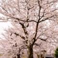 桜とWATE