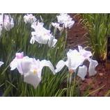『六月の花  「忘れえぬ光景」』の画像