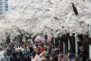 日本だと思っていた王桜の原産地、知ってみれば済州だった。韓国の桜と他の桜を接木して作ったのがソメイヨシノ