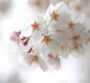 桜の写真撮ってきた