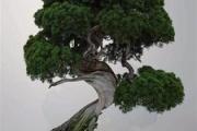 【埼玉】樹齢400年の盆栽を盗まれた日本人...「我が子のように育ててきた」Facebookに想い綴り海外で話題に