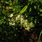 『【植物】ノビルかと思ったら・・・【写真あり】』の画像