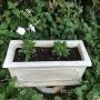 *【お花を植えました♪】グランドカバータイムロンギカウリスとビオラ