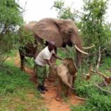 『孤児院を卒業したゾウが赤ちゃんを連れて挨拶に』の画像
