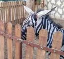 シマウマが高いためロバを縞模様に塗って飼育してる貧乏動物園 動物園はシマウマと主張