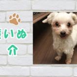 『【動画】保護犬紹介 マルチーズ くるみちゃん♀ サクラの花びらをお口につけて♪ ~』の画像