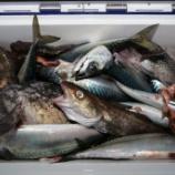 『1月7日 釣果 スロージギング サバ爆釣』の画像