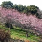 『世界の梅公園に』の画像