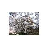 『鶴ヶ城の桜』の画像