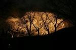 植物園の『枝垂れ桜のライトアップ』。今年はこんな感じ!~やっぱりものスゴイ幻想的!~