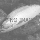 『サクラマス、松前沖では爆釣!?』の画像