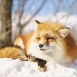 雪に刺さったキツネが発見される(画像あり)