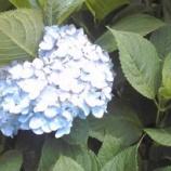 『紫陽花の月』の画像