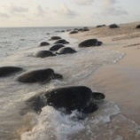 『ウミガメの孵化に異常:オーストラリア・レイン島』の画像