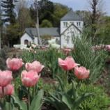 『チューリップが花盛りです』の画像