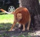 犬にたてがみを付けてライオンにして走らせたら?→町中が大パニックに
