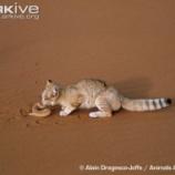『砂漠の天使スナネコと人工的環境での生活』の画像