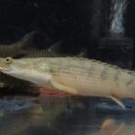 アクアワーク ~古代魚ポリプテルス~