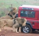【画像】サファリツアーをしていた観光客がライオンに襲われて涙目