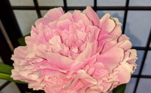 花びらの濃淡が美しいシャクヤク